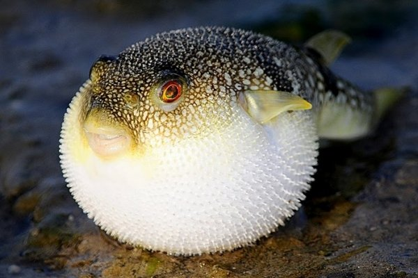 Japanese puffer fish 7 deadly creatures you 39 re going to for Japanese puffer fish