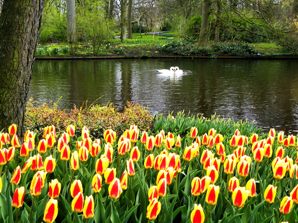 The netherlands tulips 8 gorgeous places to visit in spring 39 s - Jardines de tulipanes en holanda ...