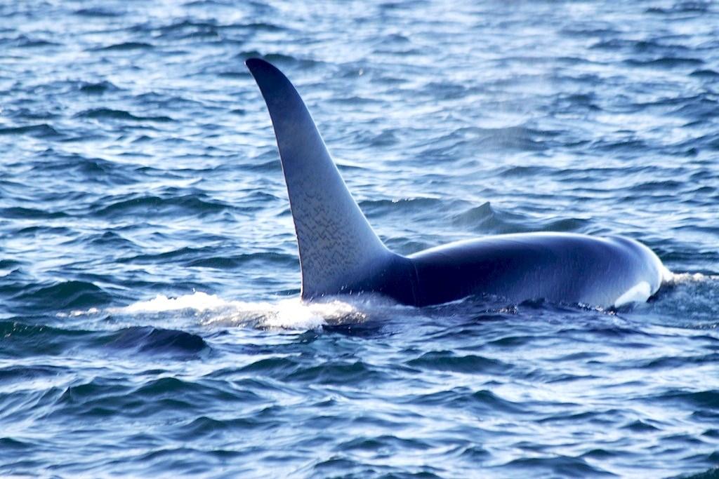 Orcas - Victoria, British Columbia, Canada