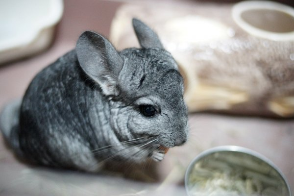 mammal,vertebrate,chinchilla,fauna,whiskers,