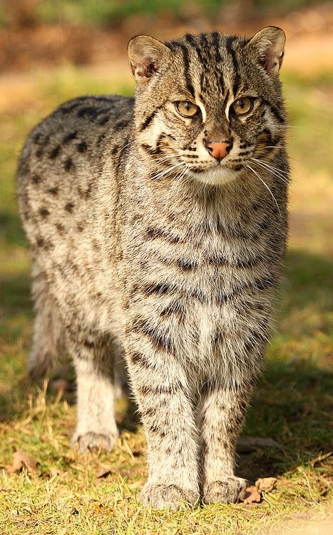 Fishing cat 7 adorable animals from asia lifestyle for The fishing cat