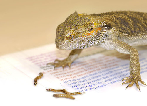 1. Foods Bearded Dragons Eat - 10 Tips on Caring for a ...