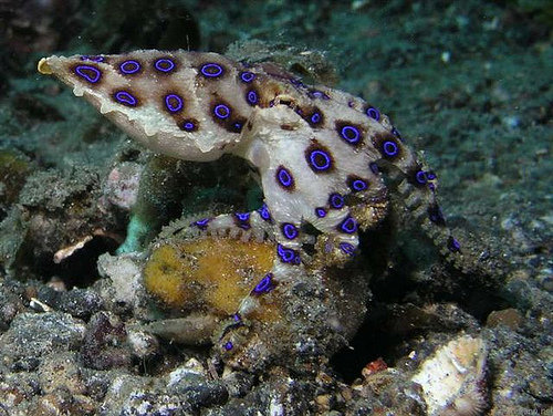 2. Blue-ringed Octopus - 7 Most Poisonous Animals ... …