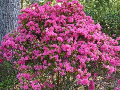4 azalea bushes 8 cool gardening blogs lifestyle - Care azaleas keep years ...