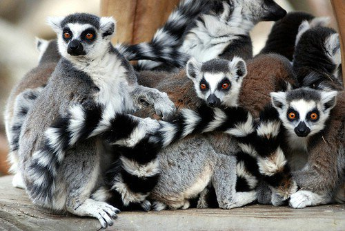 Ringtail Lemur 7 Fun Animals To Have