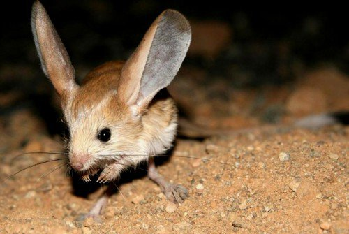 Long-eared Jerboa - 7 World's Most Unusual Animals ... …