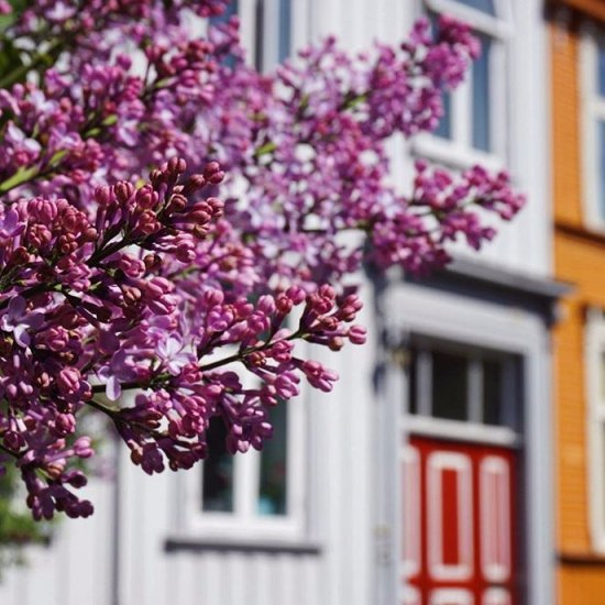 pink, flower, purple, lilac, spring,