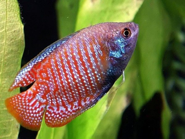 Dwarf gouramis 7 cool tropical fish to add to your tank for Cool tropical fish
