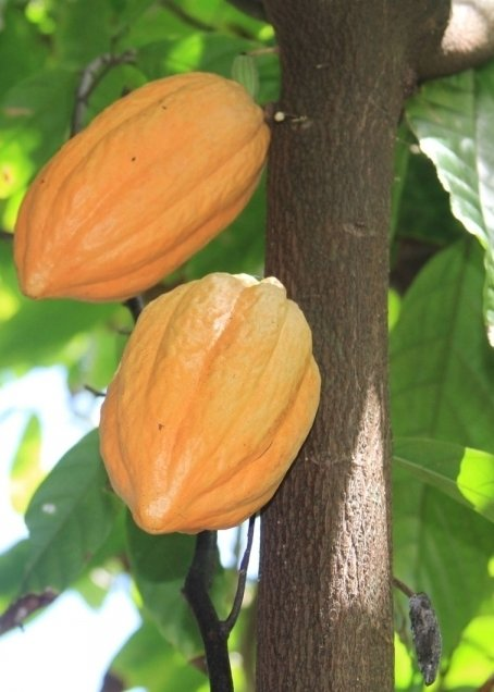 cacao fruit how to eat