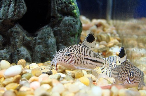 Some Corydoras Catfish - 8 Types of Popular Aquarium Fish ...
