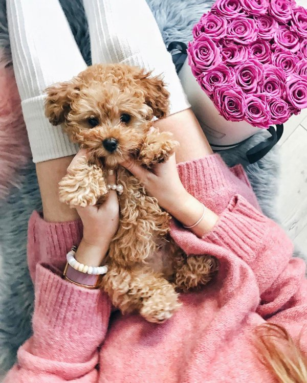 mammal, pink, dog, puppy, dog crossbreeds,