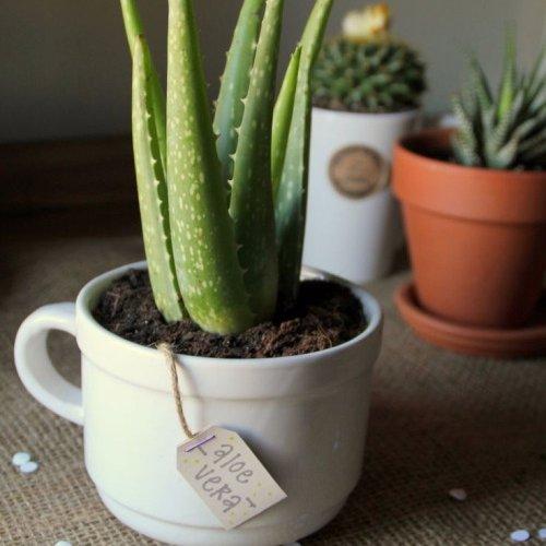 plant, land plant, flower, flowering plant, cactus,