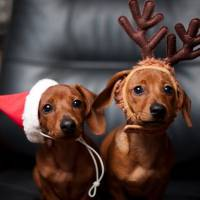 44 Pictures of Pets at Christmas ... Simply Because ...