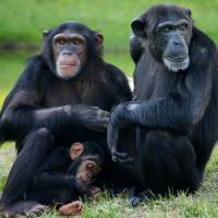 49 Pictures of Chimps to Brighten Your Day ...