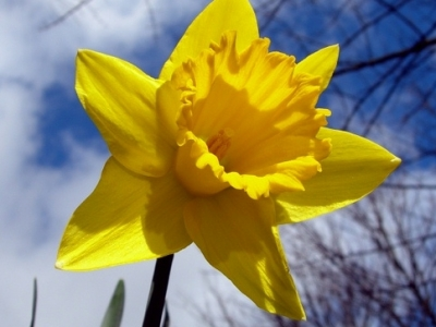 5 Tips on Growing Beautiful Daffodils …