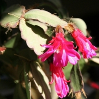5 Tips on Growing a Christmas Cactus ...