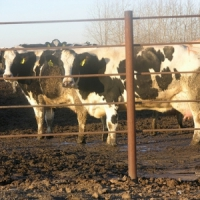 Why do Gardeners Use Cow Manure? ...