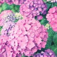 5 Tips on Growing Hydrangeas ...
