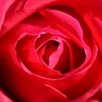 5 Tips on Preventing Rose Problems ...