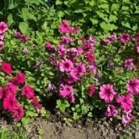 5 Tips on Growing Petunias ...