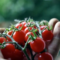 7 Easy Steps to Growing Tomatoes ...