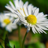 5 Tips on Caring for Daisies ...