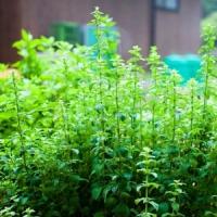 5 Basic Herbs to Grow ...