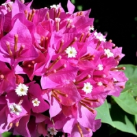 5 Tips on Caring for and Growing Colorful Bougainvillea ...