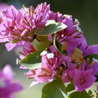 5 Tips on Rooting Bougainvillea ...
