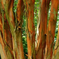 5 Tips on Caring for a Crape Myrtle Tree …