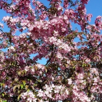 5 Growing Tips for a Flowering Crab Tree ...