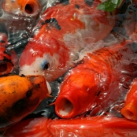 5 Ideas for the Perfect Koi Garden That is Healthy ...