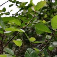 5 Garden Tips on Ficus Trees ...