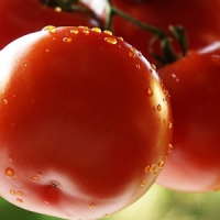 5 Tips on Harvesting Tomatoes ...