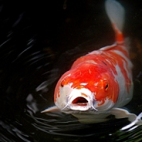 5 Tips on Caring for KOI ...