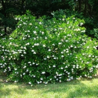 5 Tips on Caring for Gardenia Bushes ...