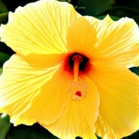 5 Tips on Caring for Hibiscus Plants ...