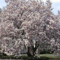 5 Tips on Caring for Magnolia Trees ...