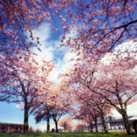 5 Tips on Caring for Cherry Trees ...