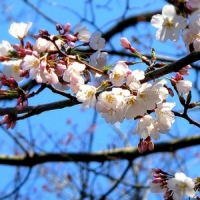 5 Tips on Growing Cherry Trees ...