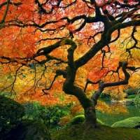 5 Tips on Growing Maple Trees ...
