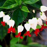 5 Techniques to Growing a Bleeding Heart Vine ...