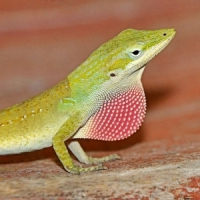 5 Cool Facts on Anoles ...