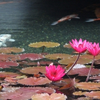 Why Not Add a KOI Pond in Your Garden? ...