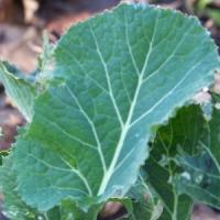 5 Tips on Growing Collard Greens ...