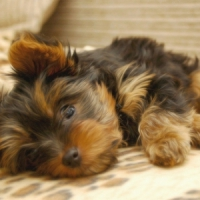 10 Hypoallergenic Dogs ...