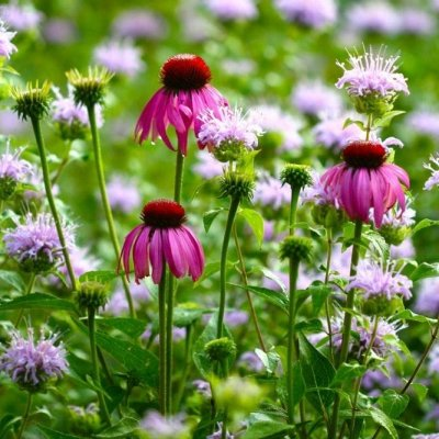 7 Facts about Echinacea You Probably Didn't Know ...