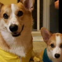 8 Adorable Photos of Corgnelius and Stumphrey ...