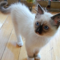 8 Adorable Cat Breeds ...
