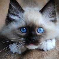 All the Best Reasons  to Get a Ragdoll Cat ...